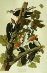 385px-John_James_Audubon_