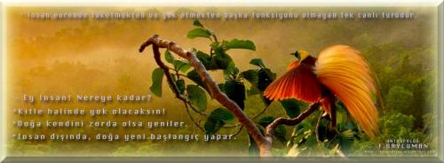 Kırmızı Tüylü Cennet Kuşu